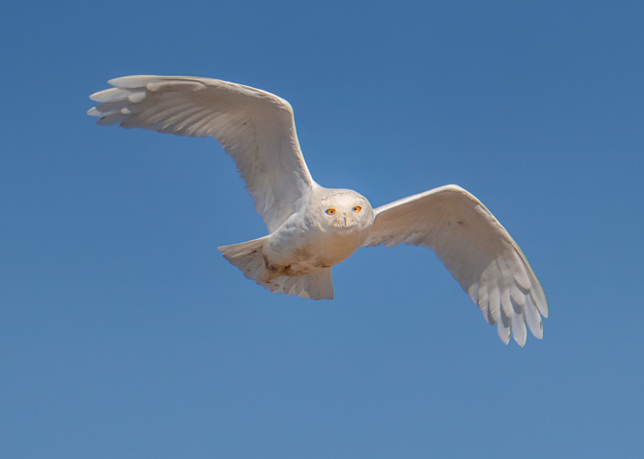 Chappy Snowy Owl In Flight 2020 Art | Michael Blanchard Inspirational Photography - Crossroads Gallery