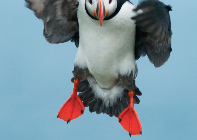 Incoming Puffin Photography Art | Monteux Gallery