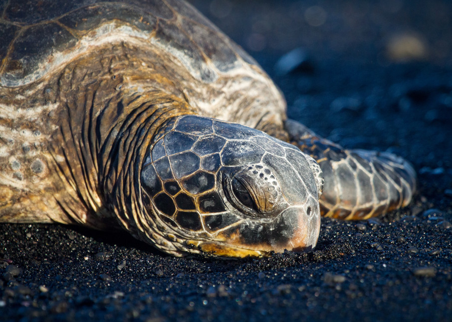 Sea Turtle on Black Sand Beach Honu