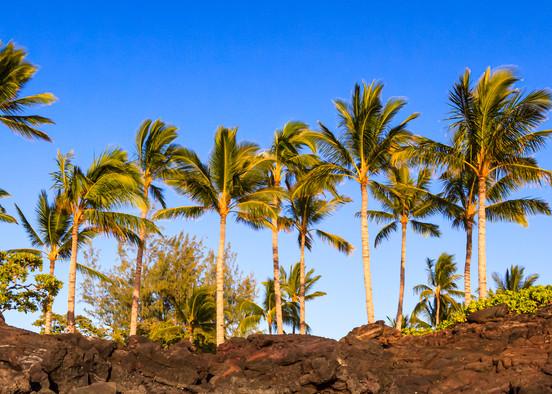 Golden Kukio Palms