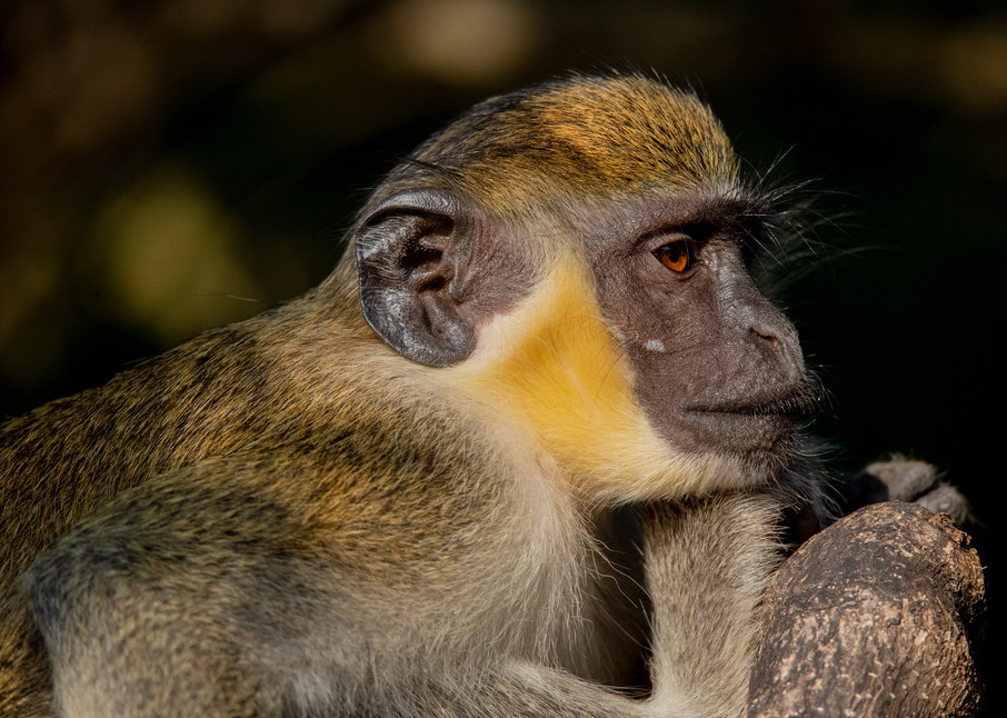 Vervet Monkey Photography Art   Monteux Gallery