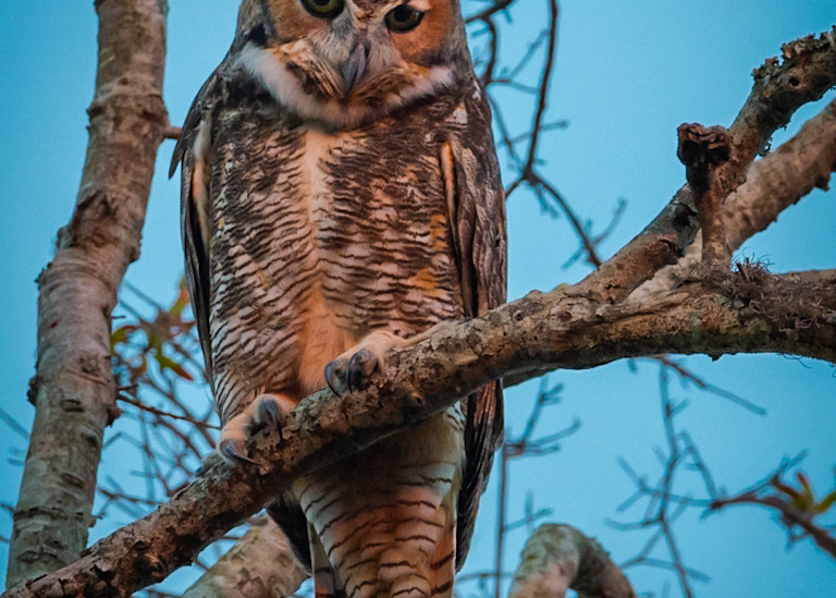 Great Horned Owl Photography Art   Monteux Gallery