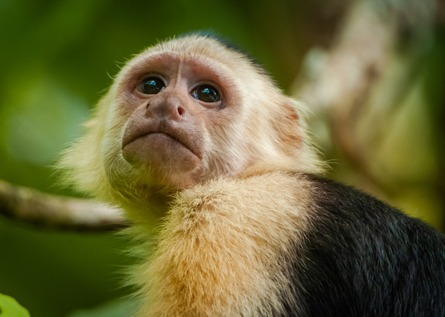 White Faced Capuchin Monkey Photography Art   Monteux Gallery