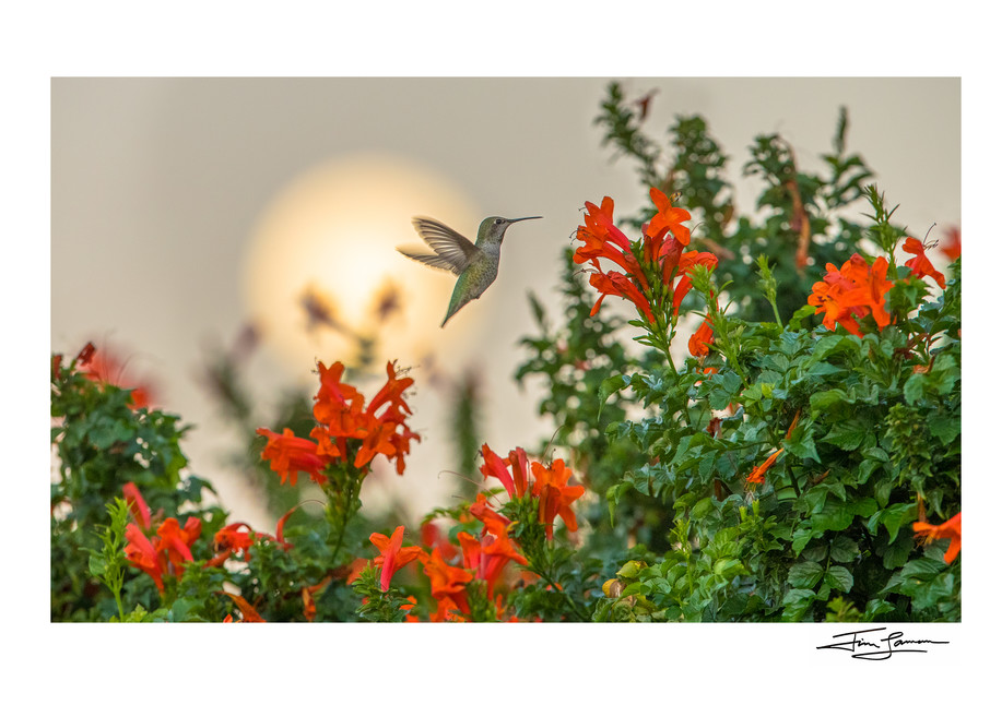 Anna's hummingbird feeding on flowers with moon behind.  Signed photograph by Tim Laman