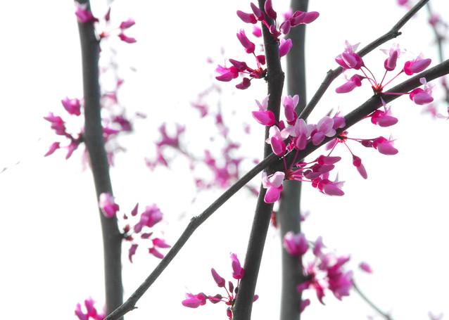 Cherry Blossom Photography Art | David Louis Klein