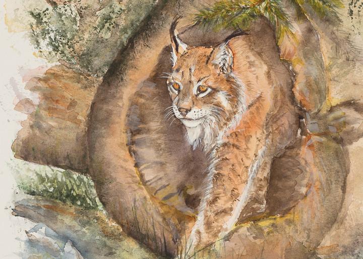 Canadian Lynx Art   Debra Bruner Studio