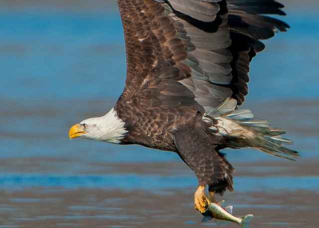 Hungry Eagle Photography Art | Monteux Gallery
