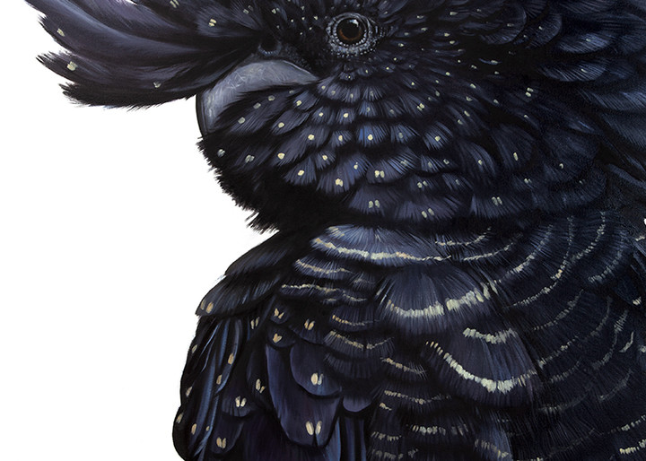 Roxy - Red-tailed Black Cockatoo