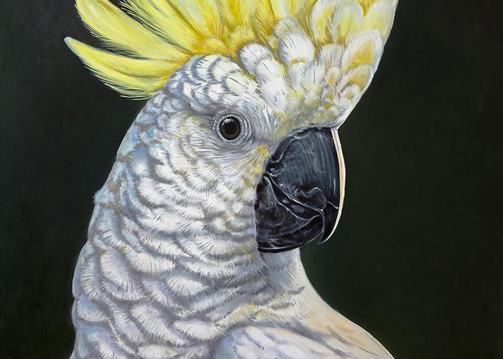 Simon - Sulphur Crested Cockatoo