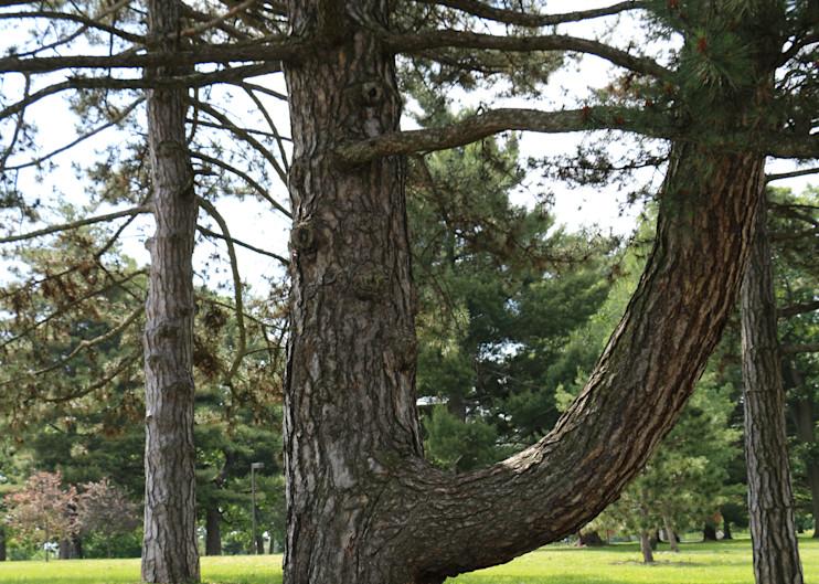 Forest Park Pine
