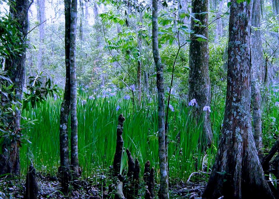 Wild Louisiana Irises  Photography Art | rozcoxosbornephoto.com