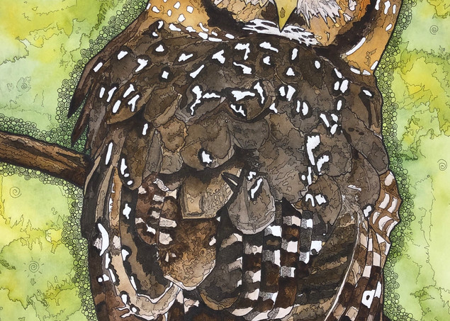 Northern Spotted Owl Art | Water+Ink Studios