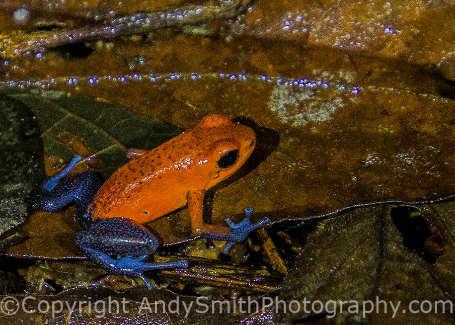 "Strawberry Poison Dart Frog, ""Blue Jeans Frog"""