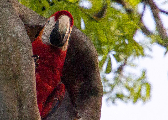 Scarlet Macaw looking out from nest hole