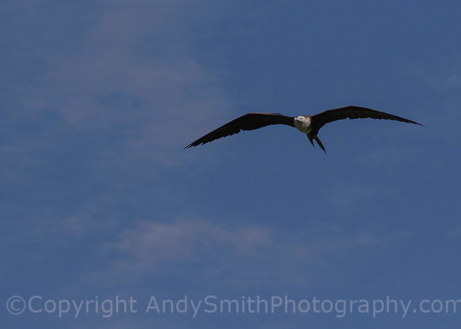 fine art photograph of Magnificent Frigatebird, Fregata magnificens