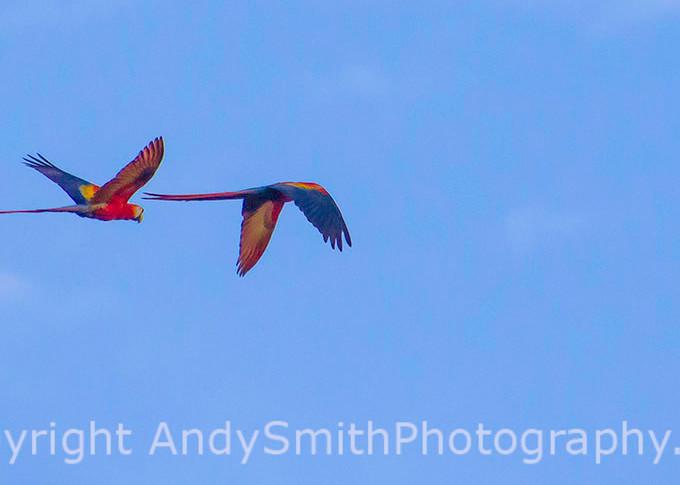 Scarlet Macaw,  Ara macao, in flight