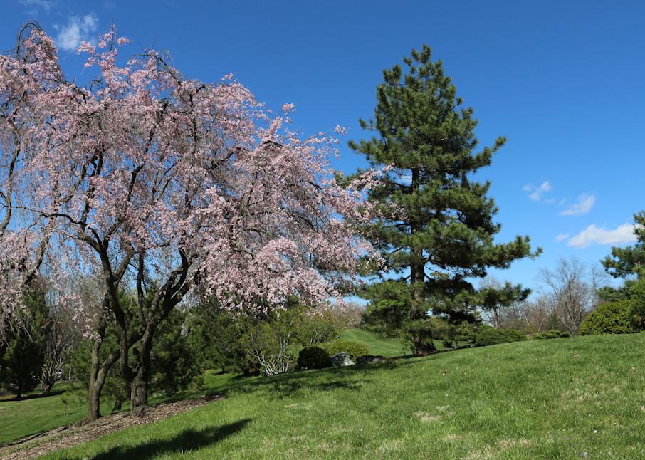 Cherry Tree at Missouri Botanical Garden