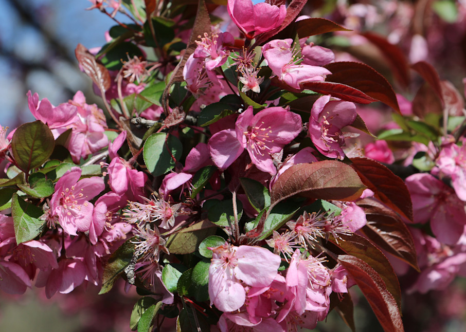 Cherry Blossoms at the Missouri Botanical Garden