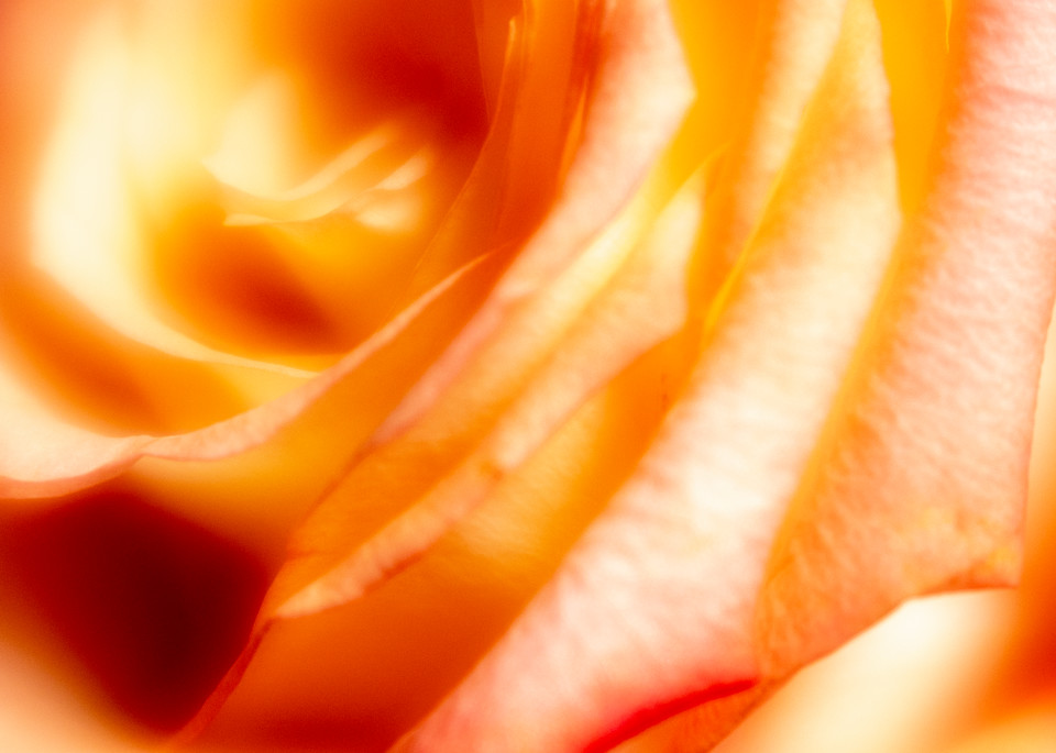 Fresh Peach Rose Fine-Art Print