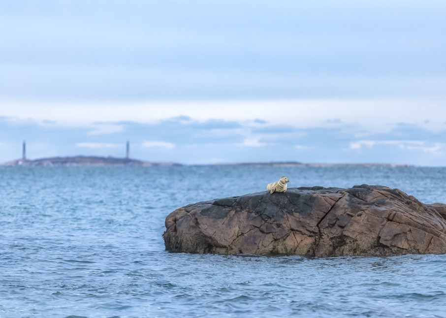 Seal 1 Art | capeanngiclee