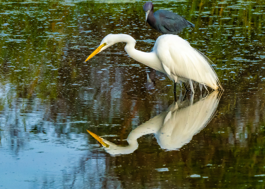 Fishing Egret Photography Art | jimhooverphoto
