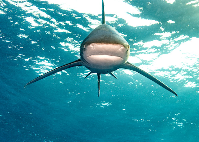 Imposing Stance is a photograph of an oceanic white tip shark available as fine art print for sale.