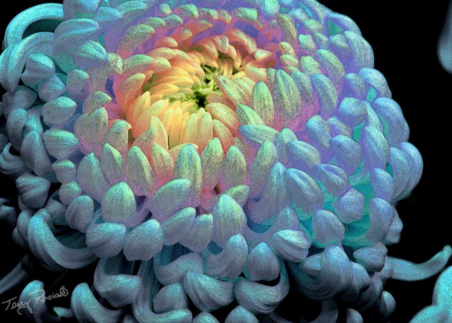 Funky Chrysanthemum in Blue, Photo by Terry Rosiak