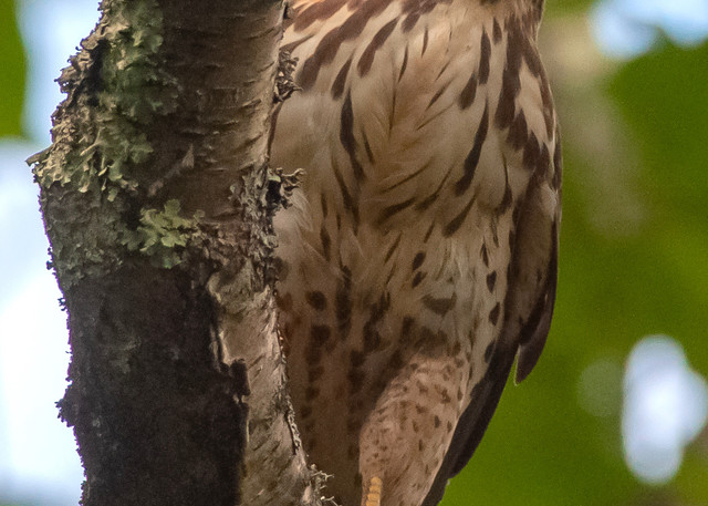 Broad Winged Hawk Photography Art   Monteux Gallery