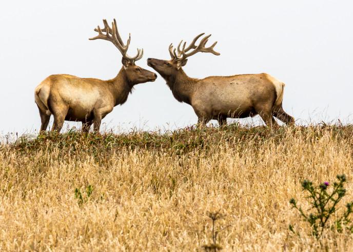 Elk Photography Art | Robert Leaper Photography
