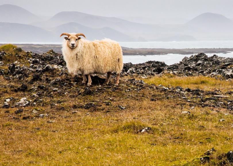 Lone Sheep Photography Art | Robert Leaper Photography