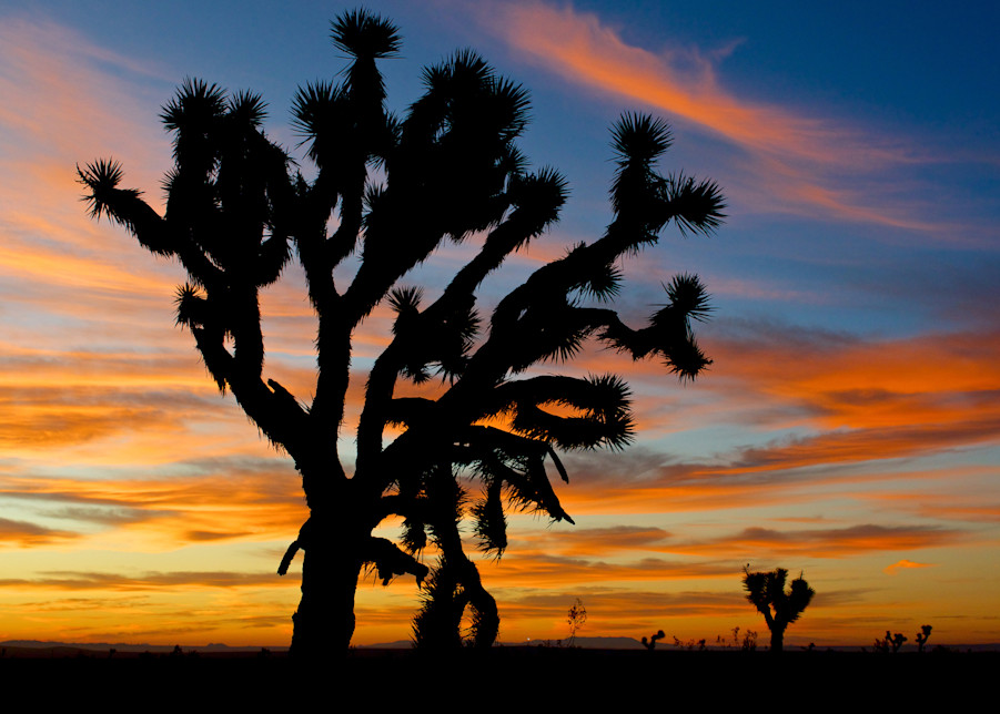 Ancient Joshua Tree Mojave Desert Sunrise