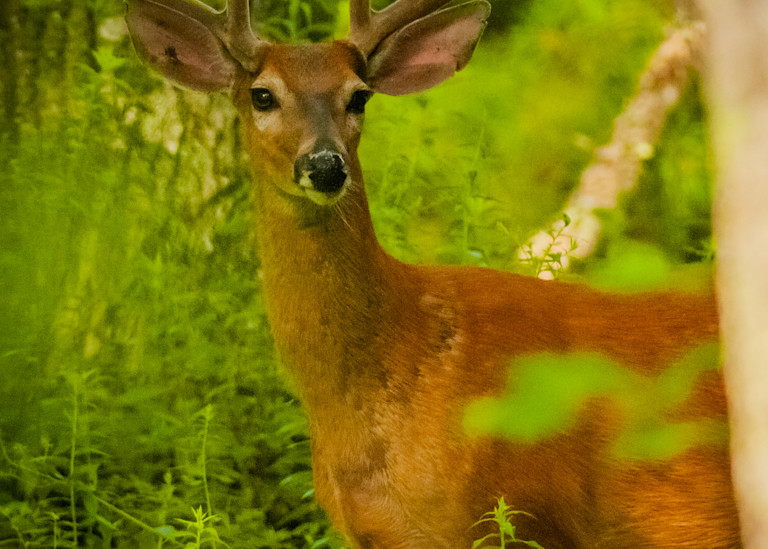White Tail Buck Photography Art   Monteux Gallery