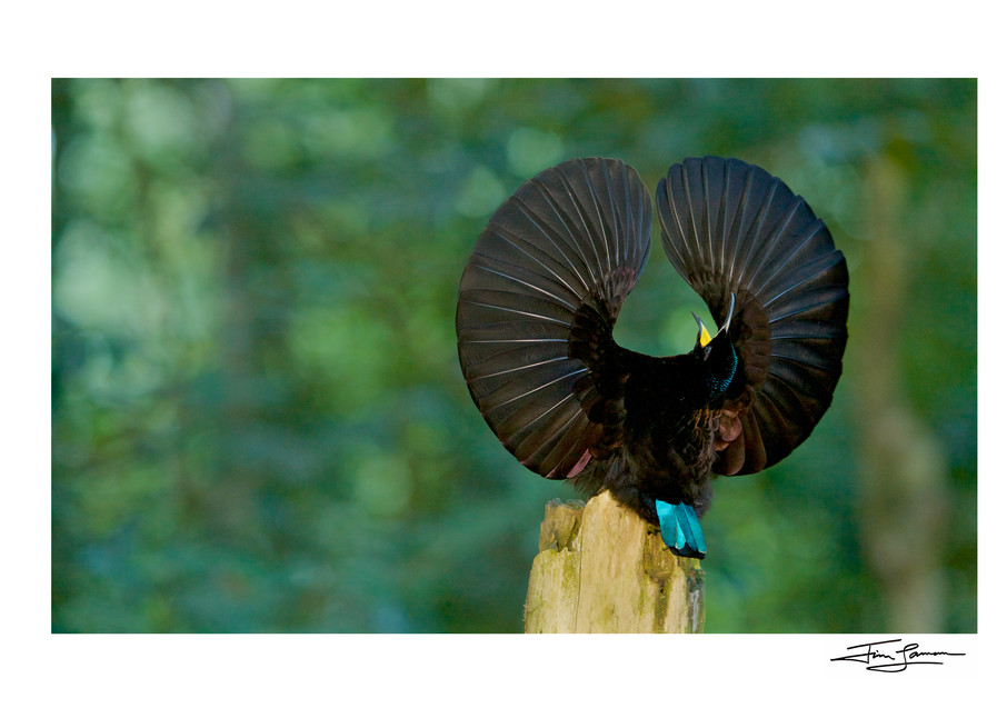 Victoria's riflebird photograph, wall art