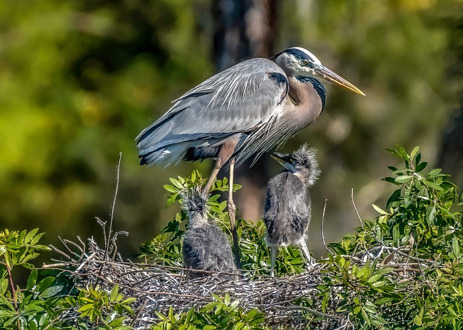 Blue Heron Family Photography Art | jimhooverphoto