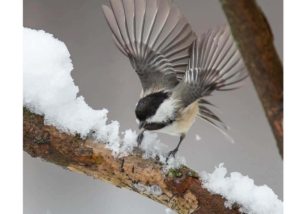 A black-capped chickadee landing on a snowy branch.  Wildlife art for your home.