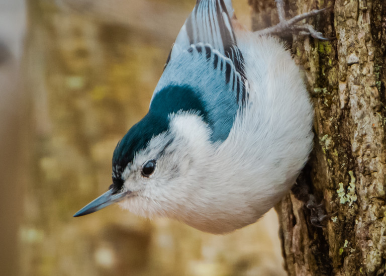 White Breasted Nuthatch Photography Art | Monteux Gallery