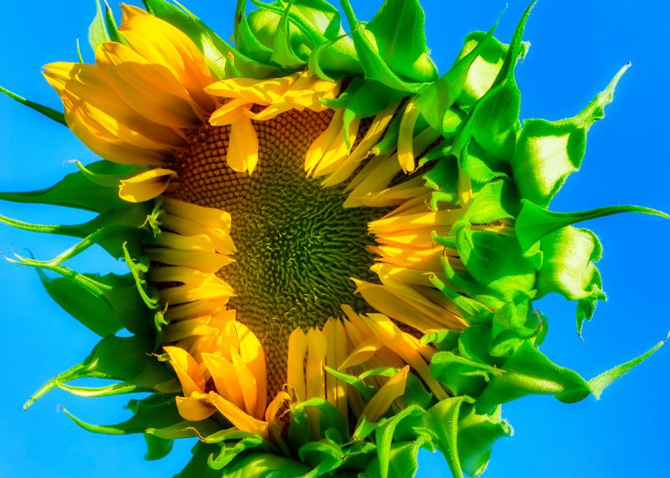 Sunflower Series06 Photography Art | Mark Steele Photography Inc