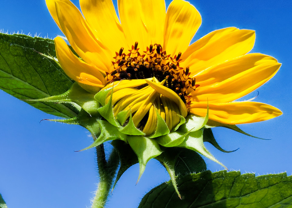 Sunflower Series07 Photography Art   Mark Steele Photography Inc