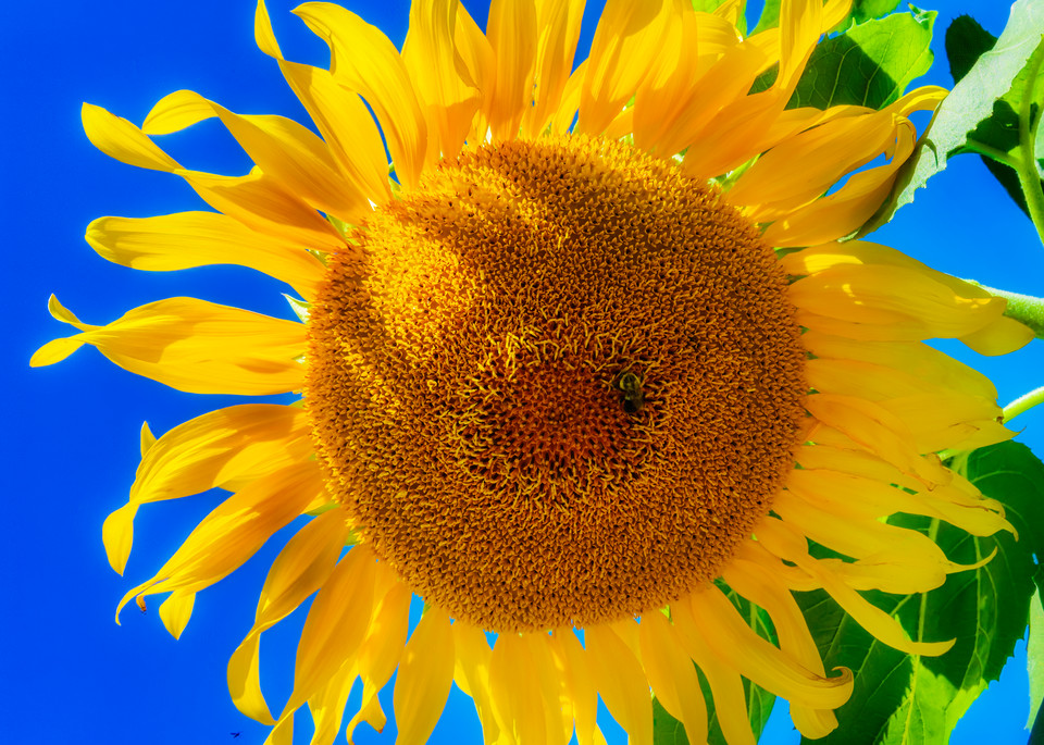 Sunflower Series22 Photography Art | Mark Steele Photography Inc