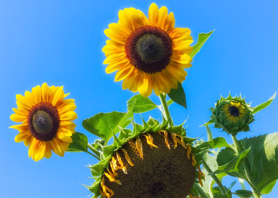 Sunflower Series21 Photography Art | Mark Steele Photography Inc