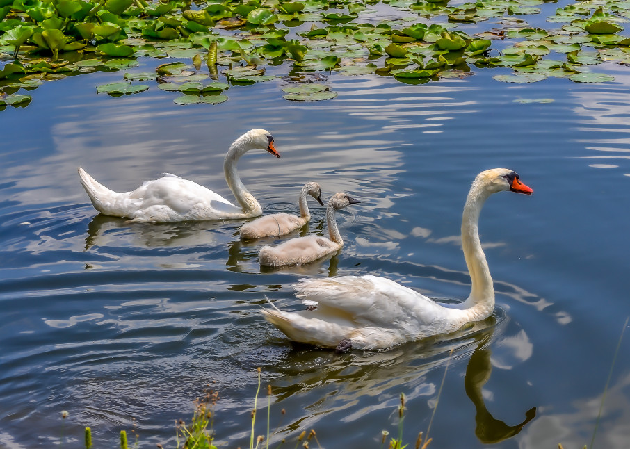 Four Swans A Swimming Photography Art | jimhooverphoto