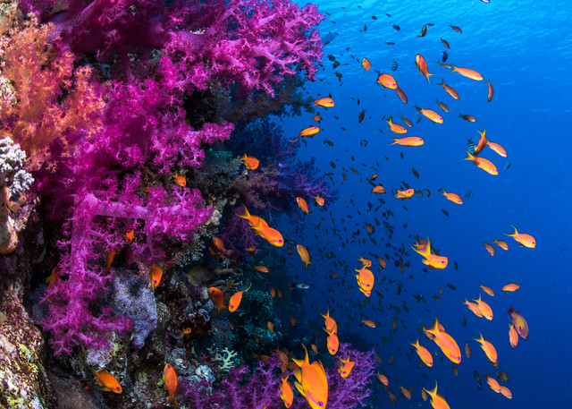 Soft Coral Wall is a colorful fine art photograph created under water for sale.