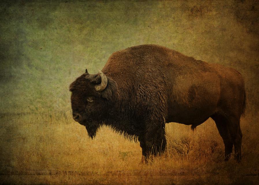 Buffalo At Yellowstone Photography Art   Doug Landreth Photography