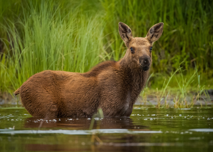 Moose Calf Photography Art | Monteux Gallery