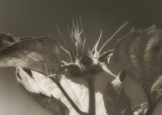 Msp Sunflowers Cw04 Photography Art   Mark Steele Photography Inc