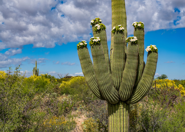 DP611 Flowering Saguaro