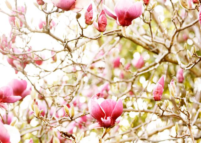 Magnolia Beauty Photography Art | Belathée Fine Arts by Belathée Photography