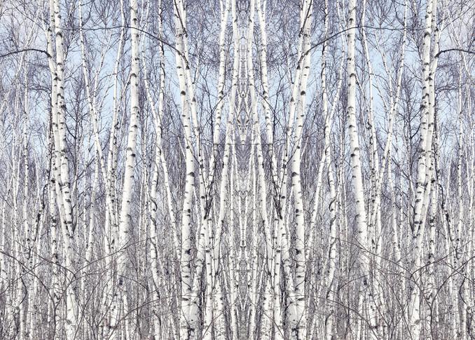 Birch Zen, by Laura Grisamore