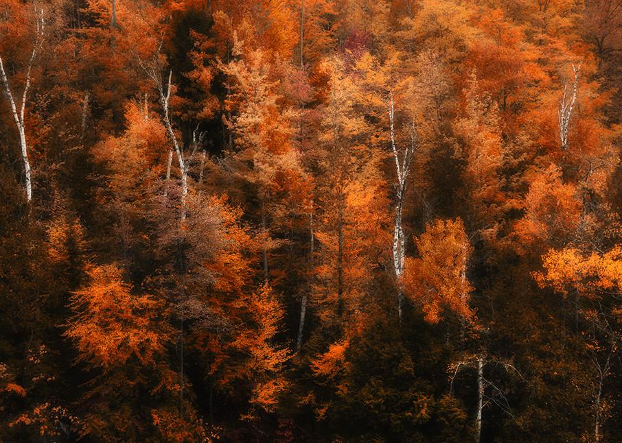 High Peaks Birch - Adirondacks - Michael Sandy Photography