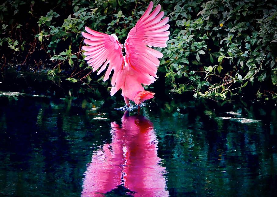 Birds, Roseate Spoonbill, Florida